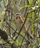 Plain-tailed Warbling-Finch