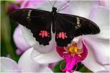 Au Jardin des Papillons de Hunwaihr (F-Haut-Rhin)