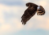 HarrierSamishFlats021019.jpg