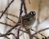 WhiteCrowned-SparrowSamishFlats021019.jpg