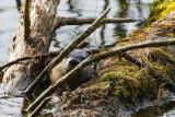 OtterBarnabySlough031019.jpg