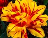 Tulip042619_3.jpg