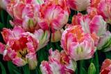 Tulips042619.jpg