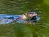 OtterBarnabySlough051519.jpg