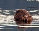 BeaverBarnabySlough052119.jpg
