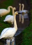 SwanSkagitFlats012516.jpg