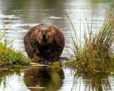 BeaverBarnabySlough070719_2.jpg