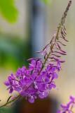 Fireweed071919.jpg