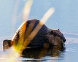 BeaverBarnabySlough072219_3.jpg