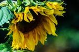 SunflowerCascadianFarm083019.jpg