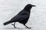 Crow011519.jpg