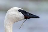 SwanHead013020_crop.jpg