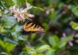 SwallowtailLemonBlossoms021720.jpg