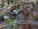OtterBarnabySlough030320.jpg