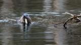 OtterBarnabySlough030820.jpg