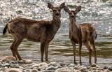 DeerSkagitR041720.jpg