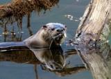 OtterBarnabySlough042120.jpg