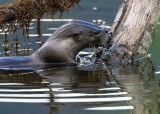 OtterBarnabySlough042120_2.jpg