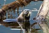 OtterBarnabySlough042120_7.jpg