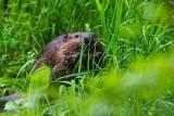 BeaverBarnabySlough053120.jpg