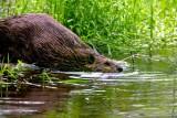 BeaverBarnabySlough053120_3.jpg