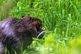 BeaverBarnabySlough053120_4.jpg
