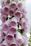 foxgloves-wet-3.jpg