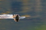 OtterBarnabySlough042120_6.jpg