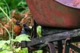 RobinsFeeding080620_2.jpg