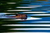 BeaverBarnabySlough081920_3.jpg