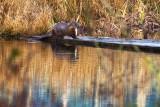 OtterFishBody021415.jpg