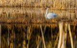 SwanBarnabySlough011521.jpg