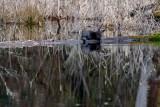 OtterBarnabySlough030121.jpg