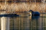 OtterBarnabySlough030921_4.jpg