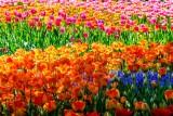 TulipsMtVernonWA042121.jpg