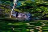 BeaverBarnabySlough041721_3.jpg