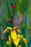 YellowIrisSalmonBerries052621.jpg