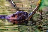 BeaverBarnabySlough041721_5.jpg