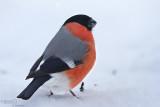 Bullfinch-WILD LATVIA
