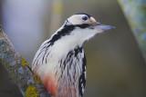 White-backed Woodpecker-WILD LATVIA