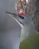 Grey-head Woodpecker