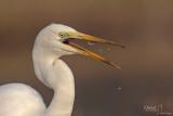 Great Egret-ARGENTA