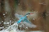 Kingfisher-SAN GENUARIO