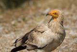 Egyptian Vulture-LAS VINAS