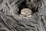 Jungle-Owl