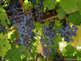Late Autumn harvest at the Grace Vineyard, King Valley