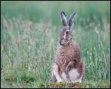 Hare / Haas