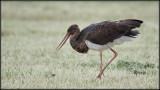 Black Stork / Zwarte Ooievaar