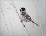 Reed Bunting / Rietgors / Emberiza schoeniclus