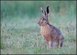 Hare / Haas / Lepus europaeus
